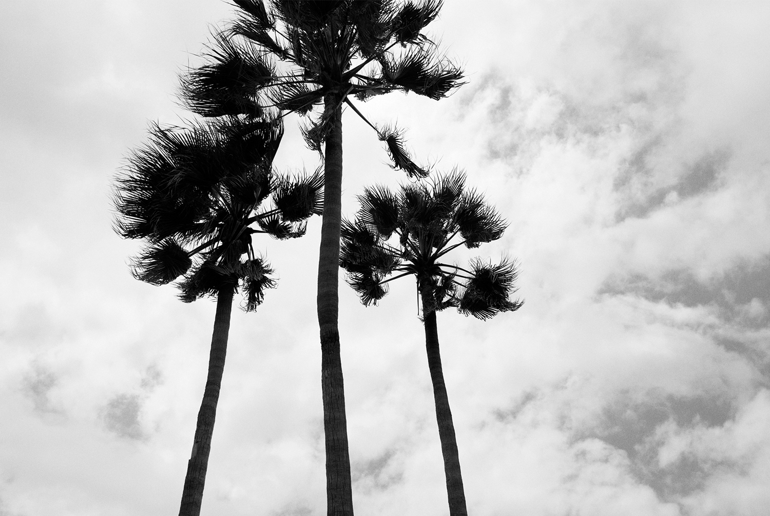 Three palm on venice beach in black and white